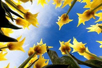 Tulpen von unten von Bart Verbrugge
