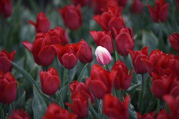 witte rebellen tulp tussen rode bloemen, die opduikt in het midden van de velden. van Nfocus Holland