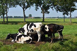Vaches Edam sur niels broekhuizen
