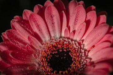 Roze Gerbera van Arjen Uijttenboogaart