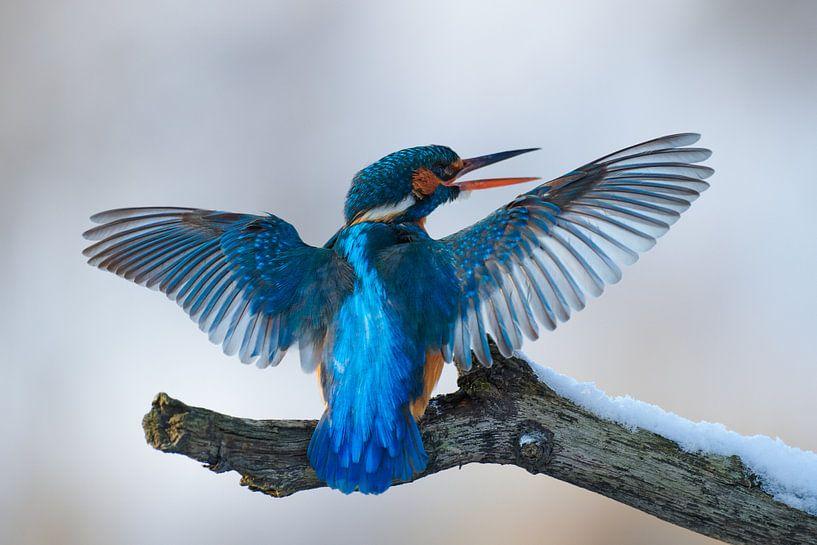 Martin-pêcheur - La perfection bleue sur IJsvogels.nl - Corné van Oosterhout