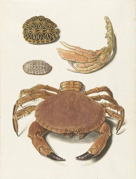 Een krab, een schaar van een krab en twee schilden van schildpadden, Johann Gustav Hoch van Botanische Prenten