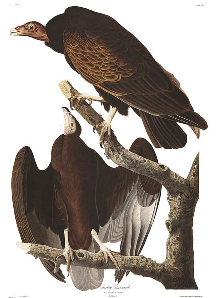 Roodkopgier van Birds of America