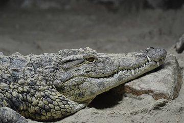 Krokodil van Sascha van Dam