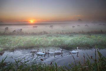 Schwanenfamilie in Fluss und Feld mit Kühen in der Morgendämmerung, Holland von Olha Rohulya