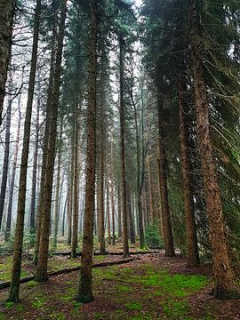 Naaldbomen in de herfst van Susanne Pieren-Canisius