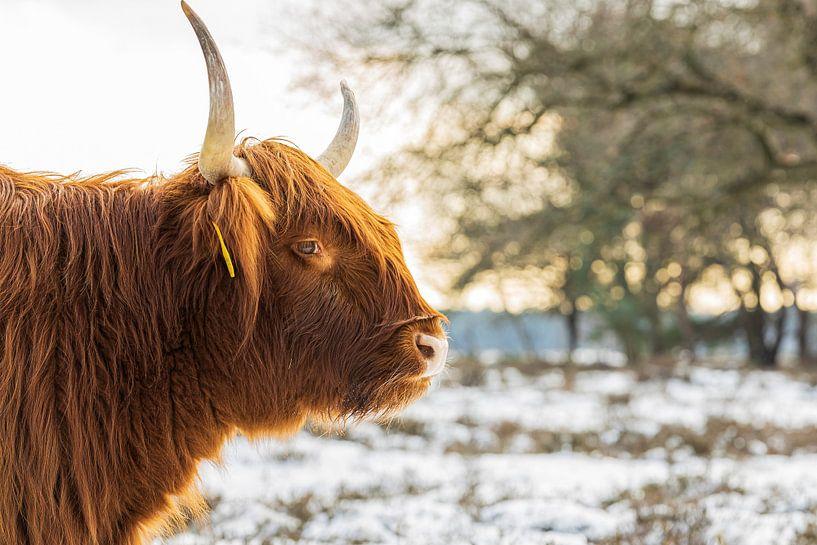 Schotse Hooglander in de sneeuw en zon van Karin Riethoven