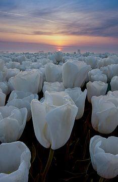 Witte tulpen van Jacco van Son