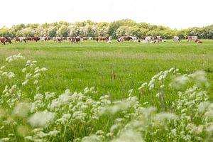 Vaches dans la prairie