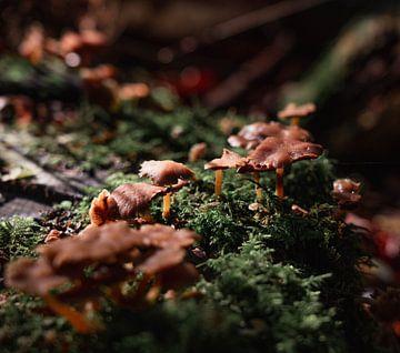 Pilze bei Sonnenaufgang von Marjon Boerman