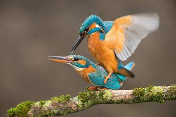 Paarende Eisvögel von Jeroen Stel
