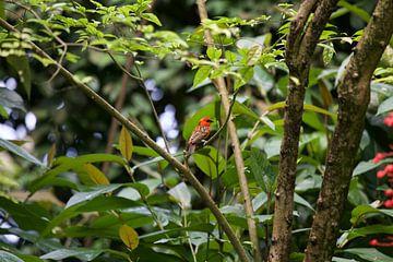 Felgekleurde Vogel van Koos Koosman