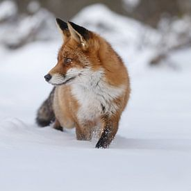 Rode vos in de sneeuw van Menno Schaefer