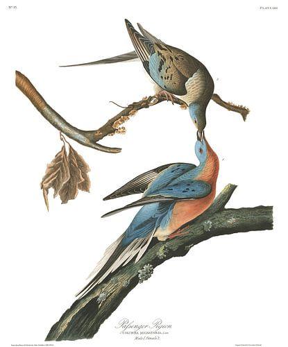 Trekduif van Birds of America