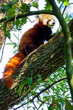 Roter Panda von Daphne Brouwer