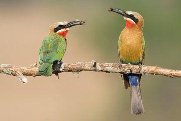 Twee Witkapbijeneters op een tak met insecten in hun snavel van
