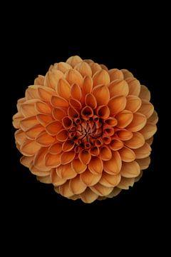 Orange Dahlie von Walljar