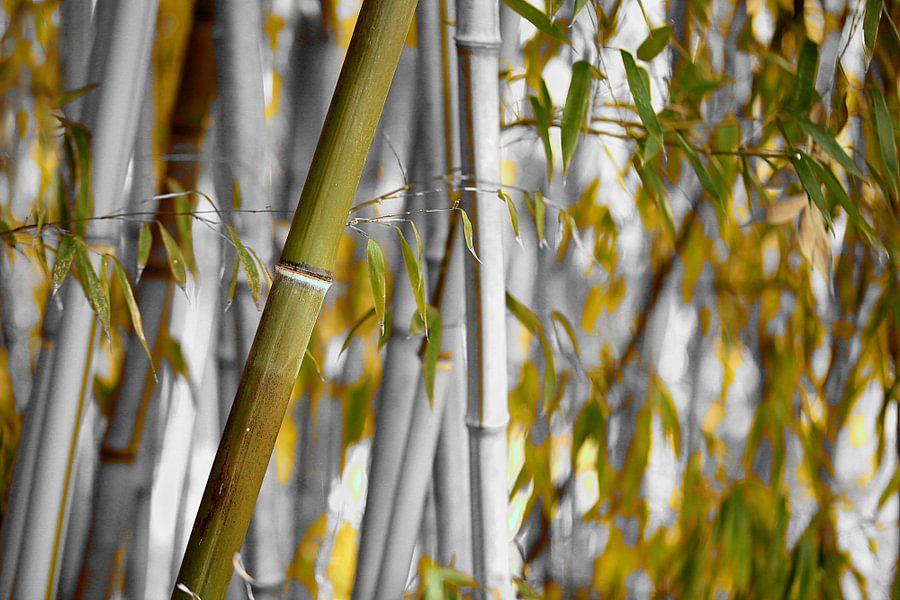 Bambus Bambusa oldhamii