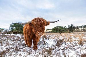 Schotse hooglander in de sneeuw