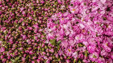 Rosenblütenblätter von Stijn Cleynhens