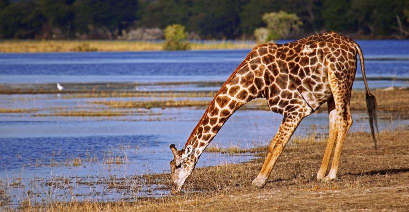 Drinking giraffe - Africa wildlife van W. Woyke