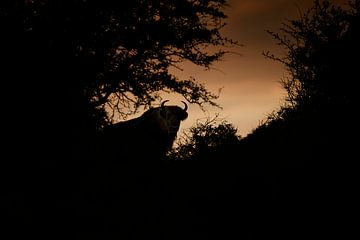 Wisent (Europese Bizon) in het Kraansvlak in Nationaal Park Zuid-Kennemerland van Jeroen Stel