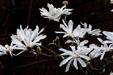 Magnolia van Ingrid Aanen