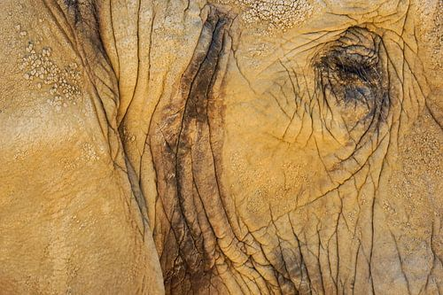 Het oog van de olifant van