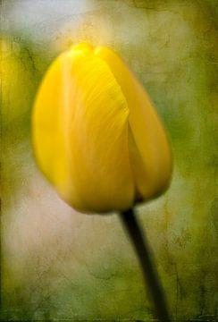 Gele tulp, lente van Rietje Bulthuis