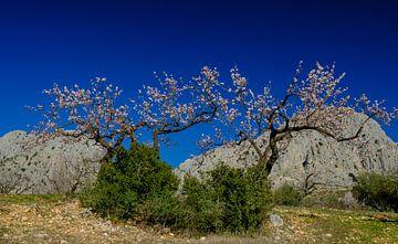 Mandelblüte von Peter Laarakker