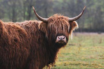 Schotse Hooglander met imposante houding in Nederlandse natuur van Maarten Oerlemans