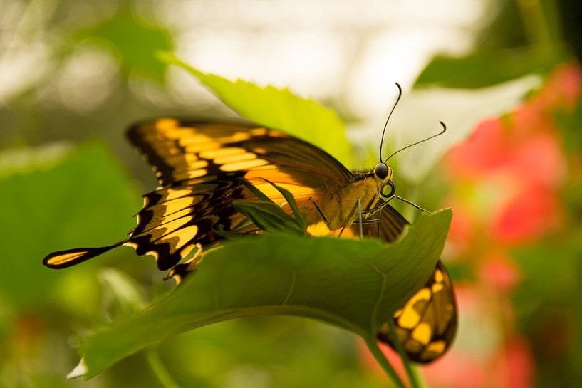 Vlinder van Guus Jamin