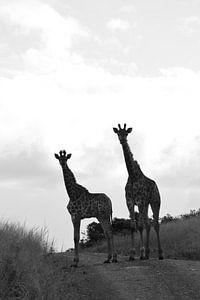 Giraffen in zwart-wit van