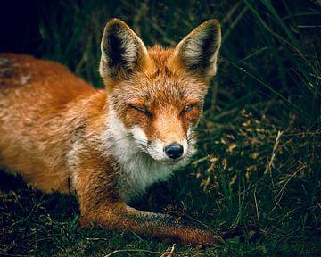 Fox in der Nähe der Amsterdamer Wasserversorgungsdünen von Björn van den Berg
