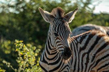 Baby zebra van Denise Stevens