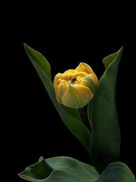 Gele tulp op zwart