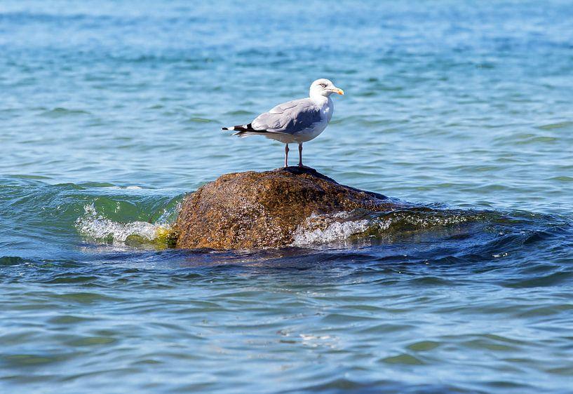 Eine Möwe auf einem Stein im Meer von Frank Herrmann