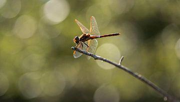 Libelle mit Hintergrundbeleuchtung von Caroline de Brouwer
