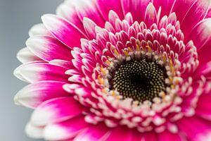 Roze 'Gerbera' bloem close-up van