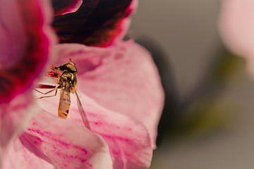 Hinterhältige Schwebfliege umgeben von rosa von Jeffrey Hoorns