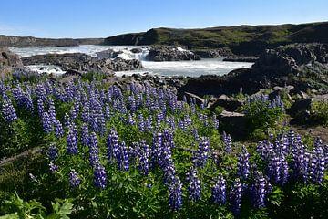 Lupine bij waterval IJsland van Susan Dekker