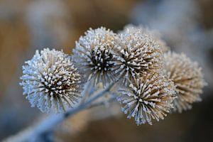 Verdorde klis in de winter van Bernhard Kaiser