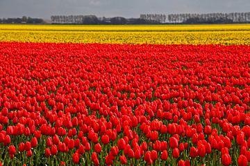 Kleurrijke velden met uitbundig bloeiende tulpen van
