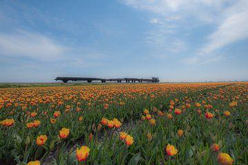 Werktrein tussen tulpenvelden van Moetwil en van Dijk - Fotografie