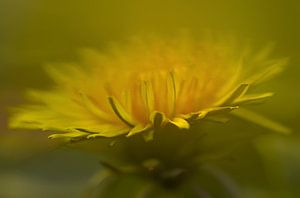 Paardenbloem (Taraxacum officinale)  dandelion