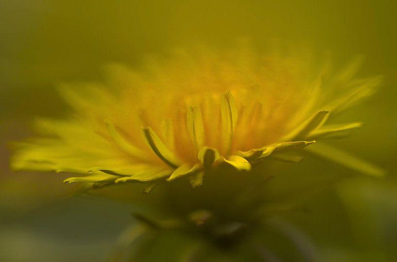 Paardenbloem (Taraxacum officinale)  dandelion van Eric Wander
