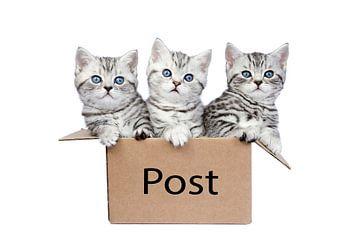 Drie jonge brits korthaar kittens in een kartonnen doos met woord Post van Ben Schonewille
