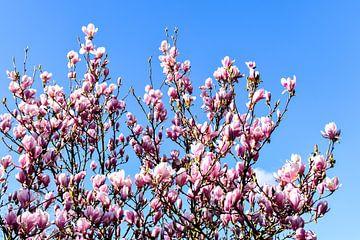 Tulpenbaum von Hermineke Pijls