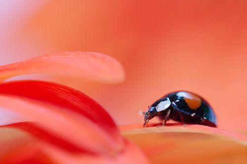 Lieveheersbeestje op een bloem, Gerbera van Lisa Groothuis