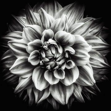 Macro bloem van een dahlia in zwart-wit van Dieter Walther